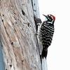 Nattall's woodpecker