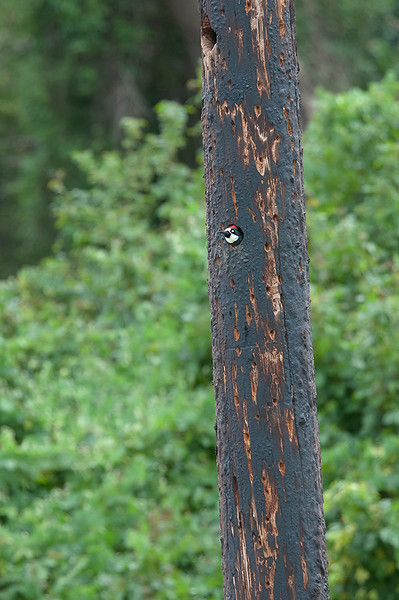 Acorn woodpecker in post 7609