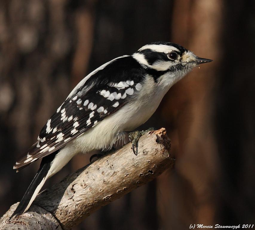 Woodpecker profile