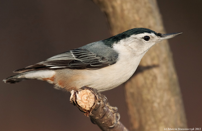White-breasted