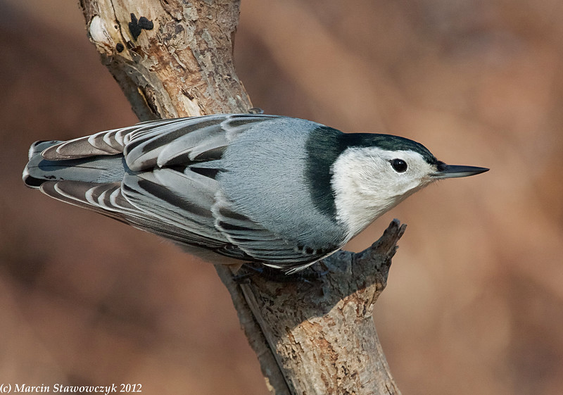 Nuthatch from above