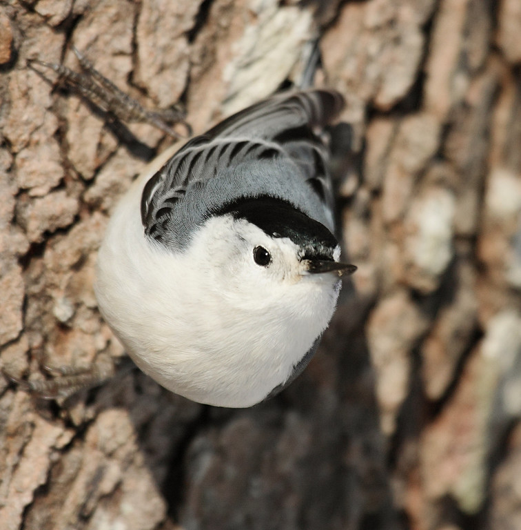 Nuthatch on the barn