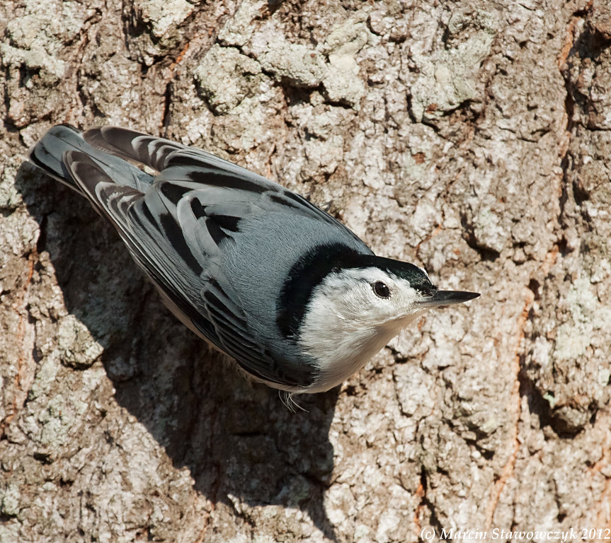 Nuthatch on a trunk