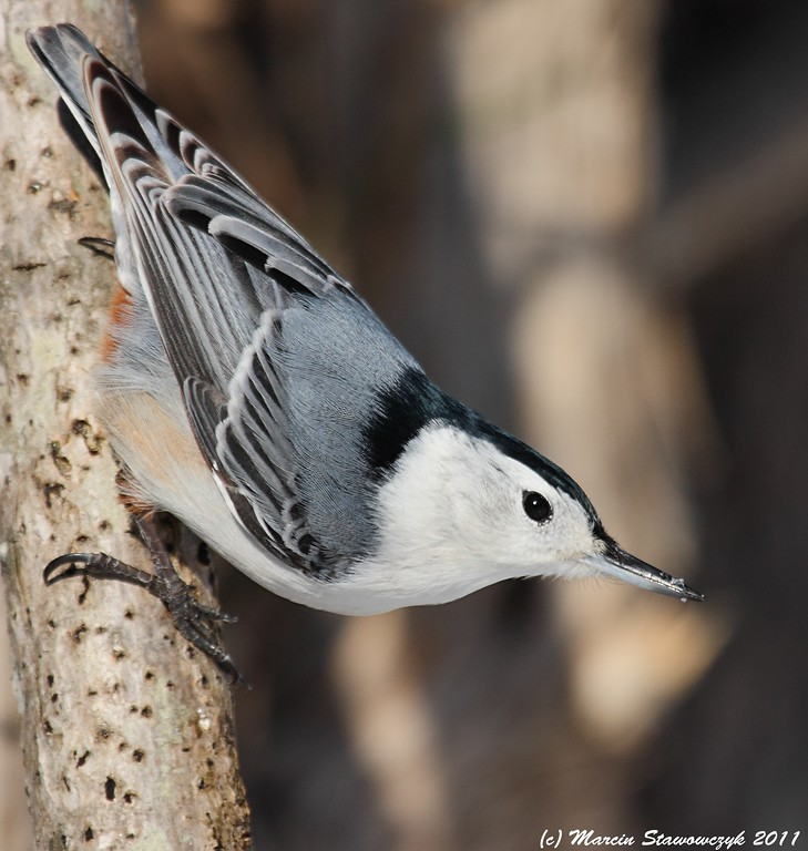 Nuthatch profile