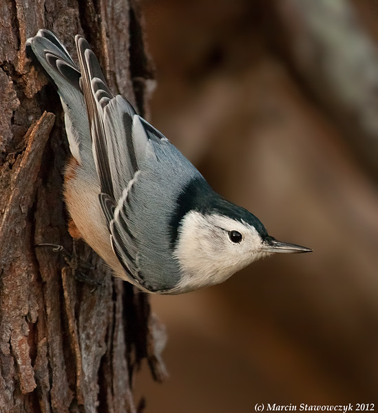 Profile of nuthatch