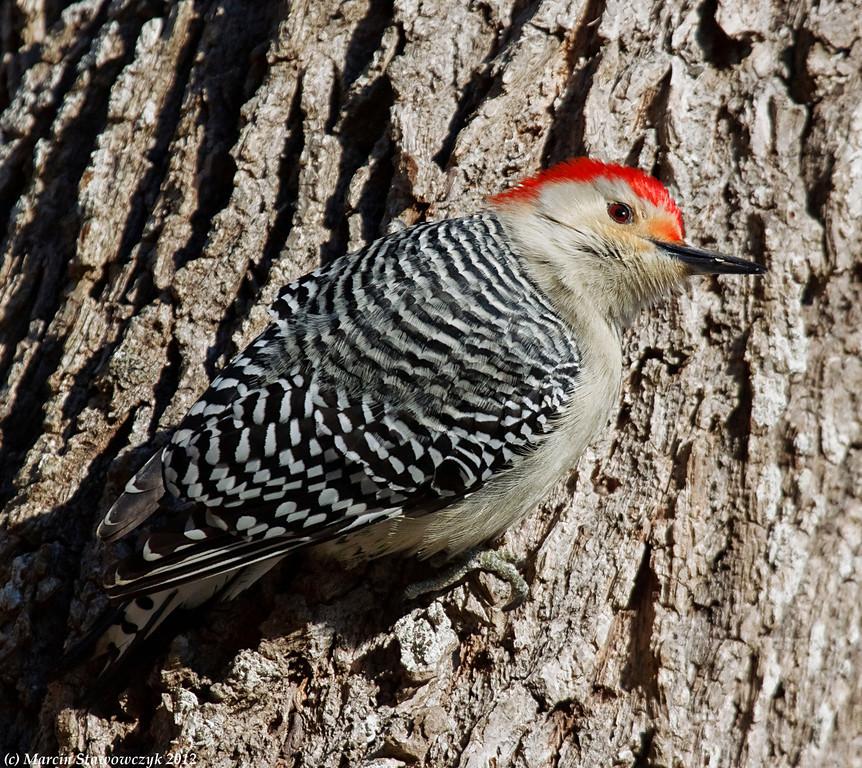 Crawling woodpecker