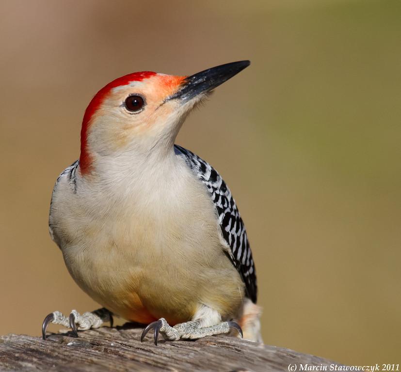Posing woodpecker