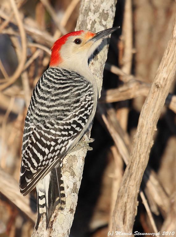 Woodpecker in the sun