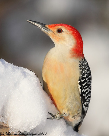 Woodpeckers, Sapsuckers and Nuthatches