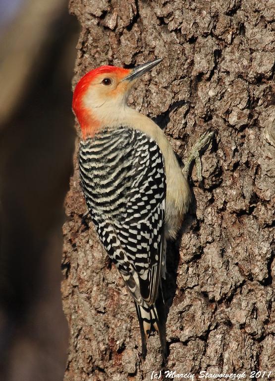 Pecker on a tree