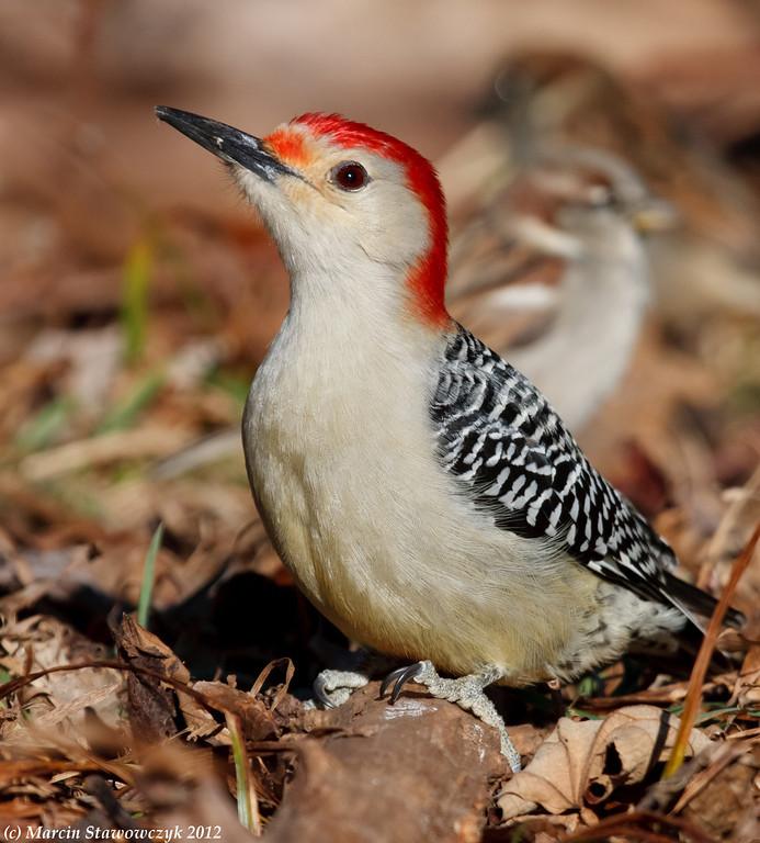 Woodpecker on the ground