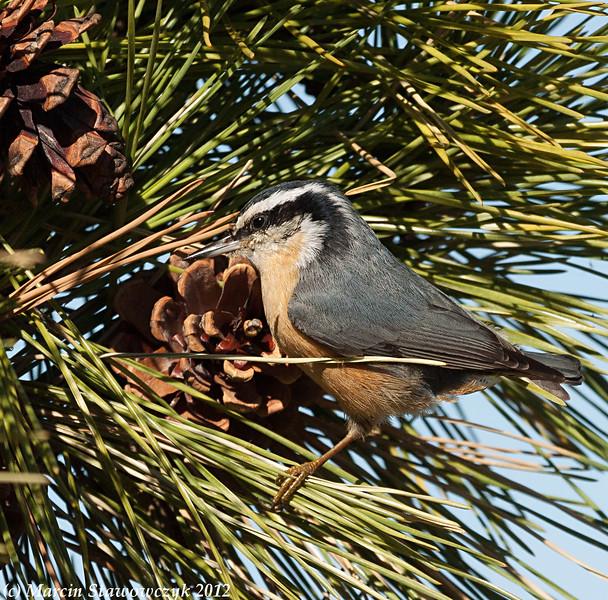 Nuthatch on a pine