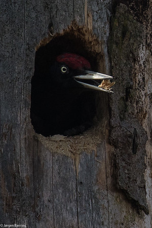 Black Woodpecker - Sortspætte