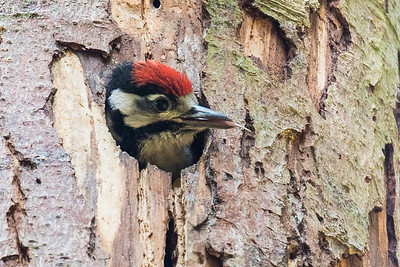 Great Spotted Woodpecker - Chick Care