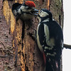 Great Spotted Woodpecker - Stor Flagspætte