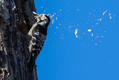 Lesser Spotted Woodpecker - Lille Flagspætte