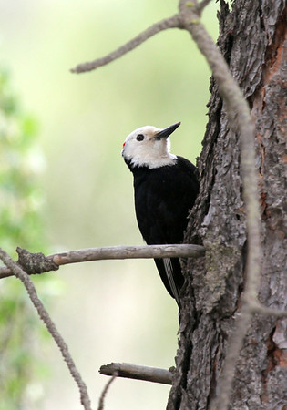 White headed Woodpecker. Wenas Area, 2012.