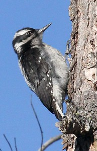 Hairy woodpecker - Bethel Ridge, 2016