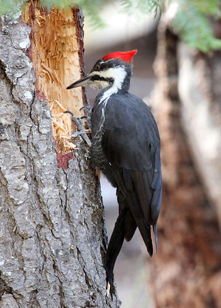 Pileated Woodpecker near Clear Lake, 2013