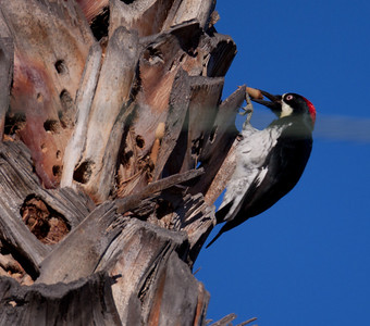 Acorn Woodpecker Elfin Forest 2010 01 02 (3 of 3).CR2