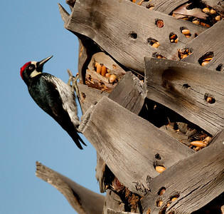 Acorn Woodpecker Lake Hodges Escondito 2012 02 17 (7 of 7).CR2