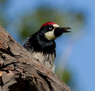 Acorn Woodpecker Palomar Mountain 2011 06 08-1.CR2 (1 of 2).CR2