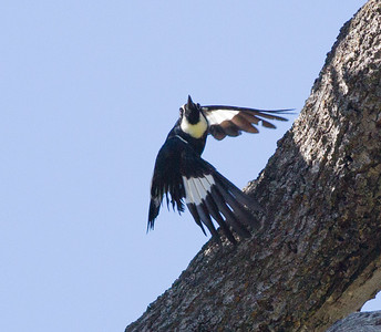Acorn Woodpecker   Cuyamaca Lake 2014 06 09-1.CR2