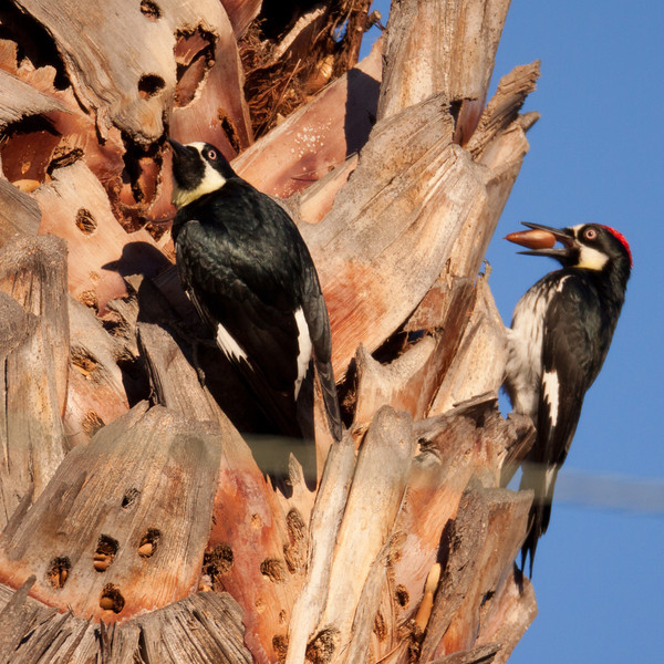 Acorn Woodpecker Elfin Forest 2010 01 02 (1 of 3).CR2