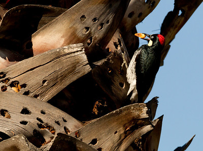 Acorn Woodpecker Lake Hodges Escondito 2012 02 17 (5 of 7).CR2
