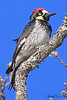 An Acorn Woodpecker taken Apr 22, 2010 near Bridgeville, CA.