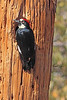 An Acorn Woodpecker taken Feb 15, 2010 in Madera Canyon, AZ.