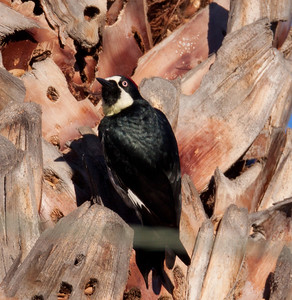 Acorn Woodpecker Elfin Forest 2010 01 02 (2 of 3).CR2