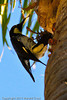 An Acorn Woodpecker taken Sep. 30, 2011 in Santa Barbara, CA.