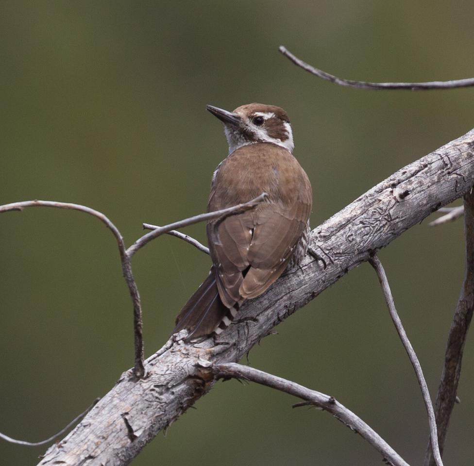 Arizona Woodpecker  Mt. Lemmon Arizona 2016 04 29-3.CR2