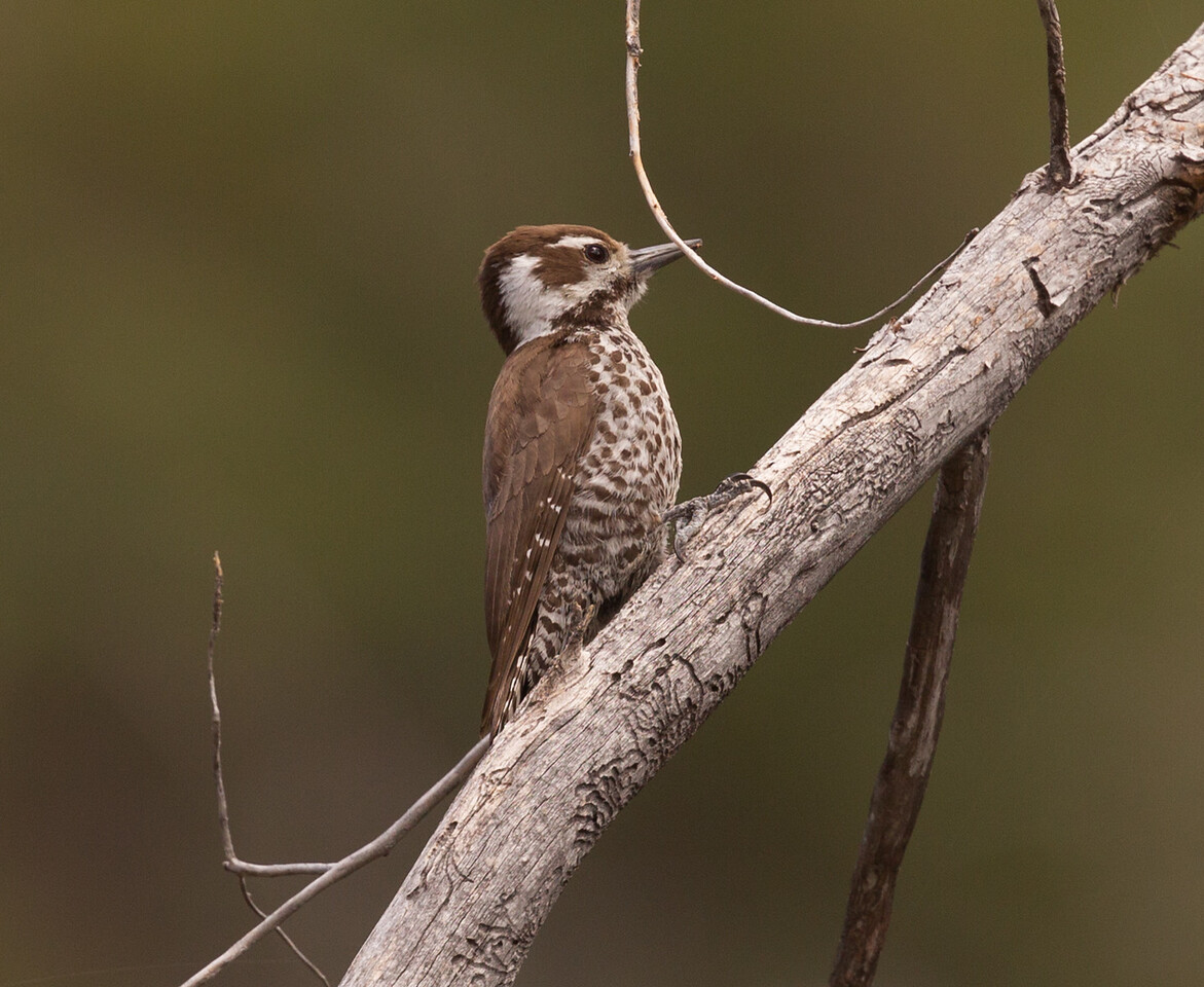 Arizona Woodpecker  Mt. Lemmon Arizona 2016 04 29-1.CR2