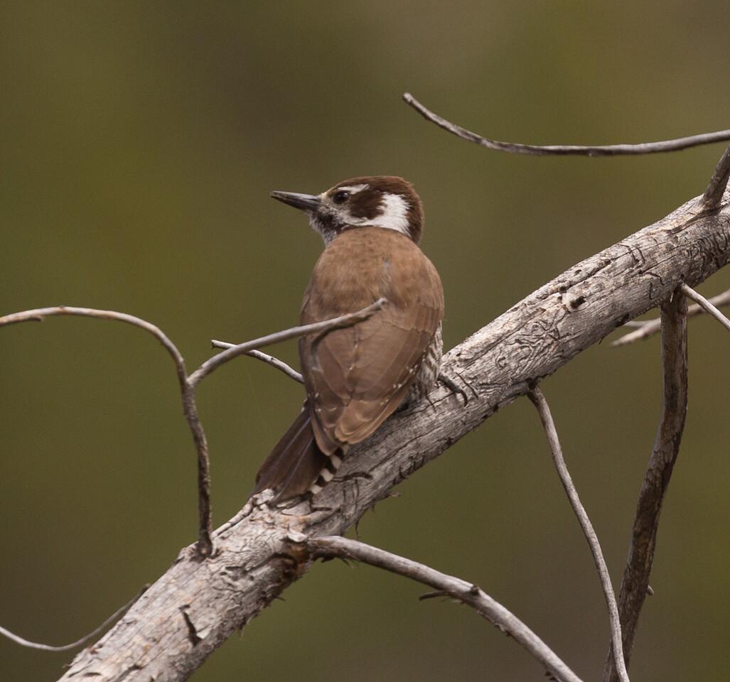 Arizona Woodpecker  Mt. Lemmon Arizona 2016 04 29-2.CR2