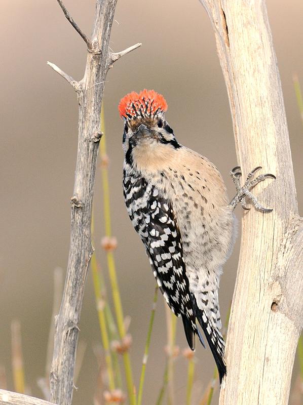 Ladder-backed Woodpecker (bad hair day)