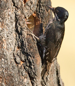 Black-backed Woodpecker June Lake burn  2012 06 17 (12 of 12).CR2