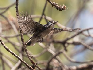 Black-backed Woodpecker Indiana Summit  2019 06 04-3.CR2