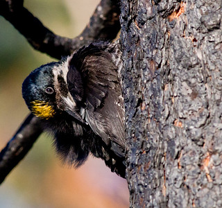 Black-backed Woodpecker  June Lake burn 2011 06 19-1.CR2 (1 of 9).CR2