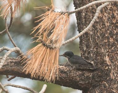 Black-backed Woodpecker Indiana Summit  2019 06 04-1.CR2
