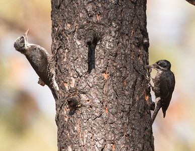 Black-backed Woodpecker near Big Springs Mono County 2018 07 25-7.CR2