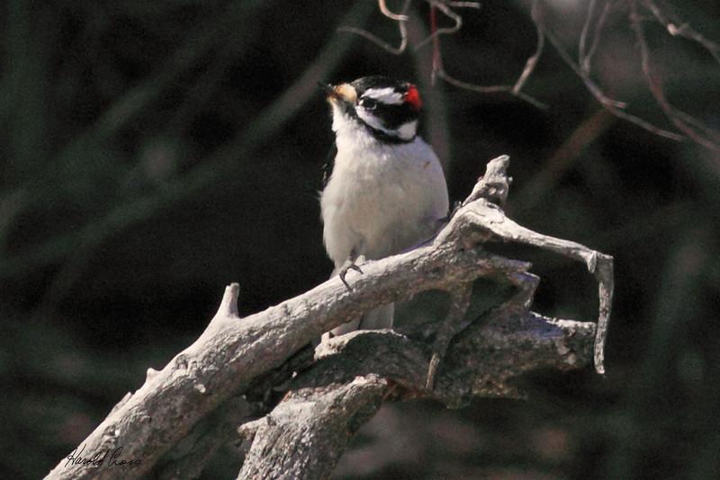 A Downy Woodpecker taken Mar 19, 2010 in Grand Junction, CO.