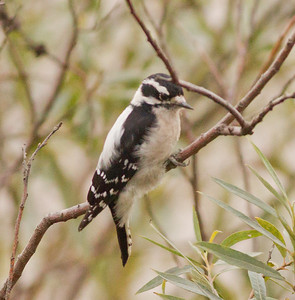 Downy Woodpecker  Encinitas 2012 10 09 (2 of 2).CR2