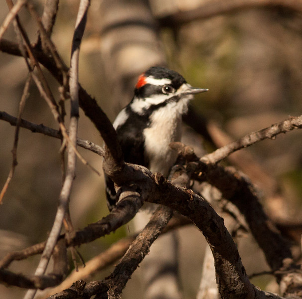 Downy Woodpecker Encinitas 2011 2 12-3.dng