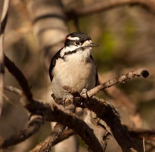 Downy Woodpecker Encinitas 2011 2 12-4.dng