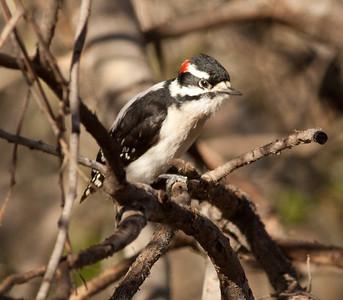 Downy Woodpecker Encinitas 2011 2 12-1.dng