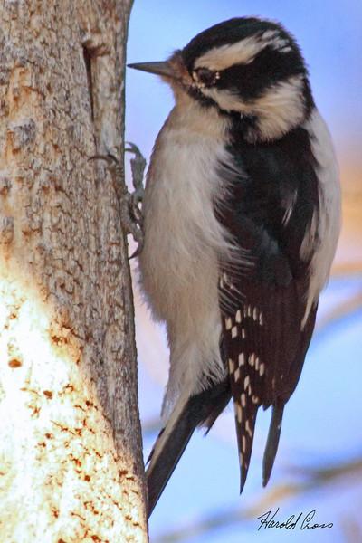 A Downy Woodpecker taken Mar 14, 2010 in Grand Junction, CO.