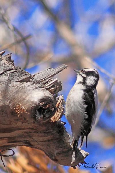 A Downy Woodpecker taken Apr 1, 2010 in Grand Junction, CO.