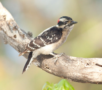 Downy Woodpecker San Dieguito Lagoon 2010 03 28 (1 of 1).CR2
